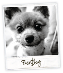 Bentley the Pomeranian / 7th House on the Left