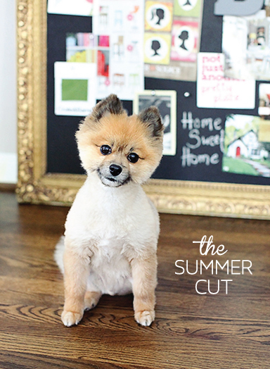 Pomeranian Summer Cut | Bentley | 7th House on the Left