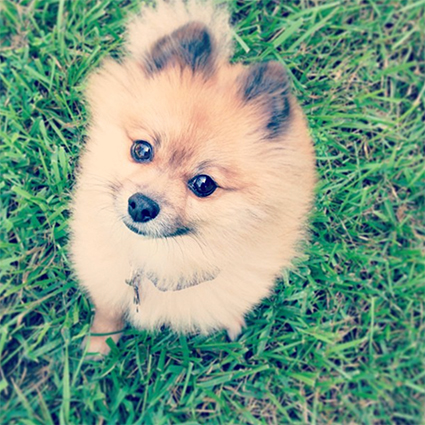 Bentley the Pomeranian // 7thhouseontheleft.com