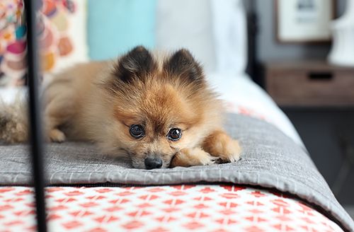 Bentley the Pomeranian / 7thhouseontheleft.com